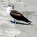 blue-footed_booby_punta_veleros_peru_pictures_tn
