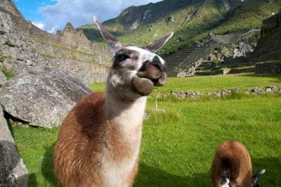 Llama Chewing the Cud