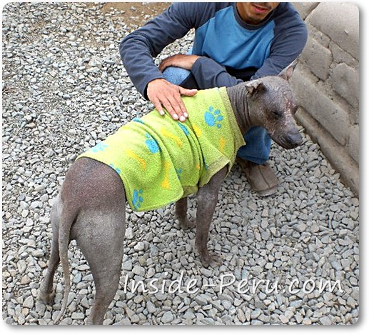 Peruvian Hairless Dog - Inca Orchid Dog