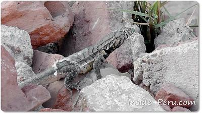 Can you identify this strange lizard for me?