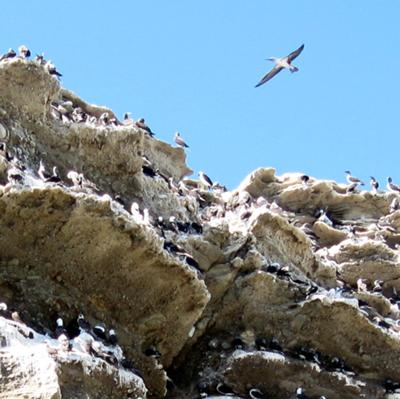 Blue-footed Booby and Peruvian Booby Rookery
