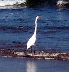 Great Egret in Surf, Peru